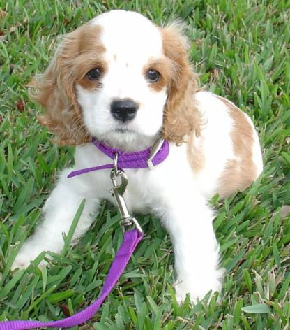 Cocker_Spaniel_Puppy